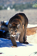 Mountain Lion Approaching Over Snow in the Los Padres National Forest California