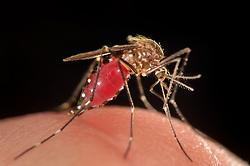 Bloodsucking Mosquito (Ochlerotatus japonicus) adult, Invasive Species, Freiburg, Germany | Blutsaugendes Weibchen der Japanische Buschmücke (Ochlerotatus japonicus). Freiburg, Deutschland