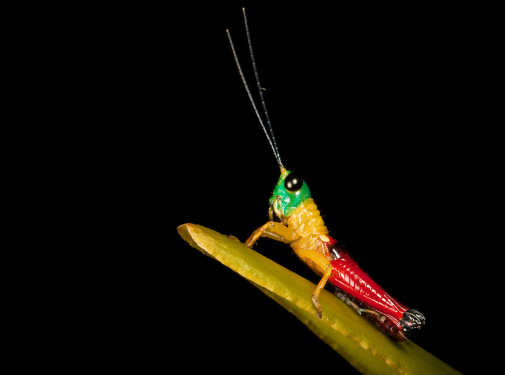 Green, yellow and red grasshopper on an orchid leaf