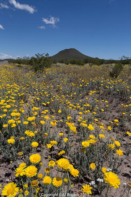 Desert Marigolds (Baileya multiradiata) at Big Bend Ranch State Park, Texas