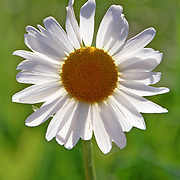 Daisies in spring and summer are a welcome sight of the new life of plants and growth.  The sun is illuminating the petals from the back side providing a sense of warmth that has come with longer warmer days.