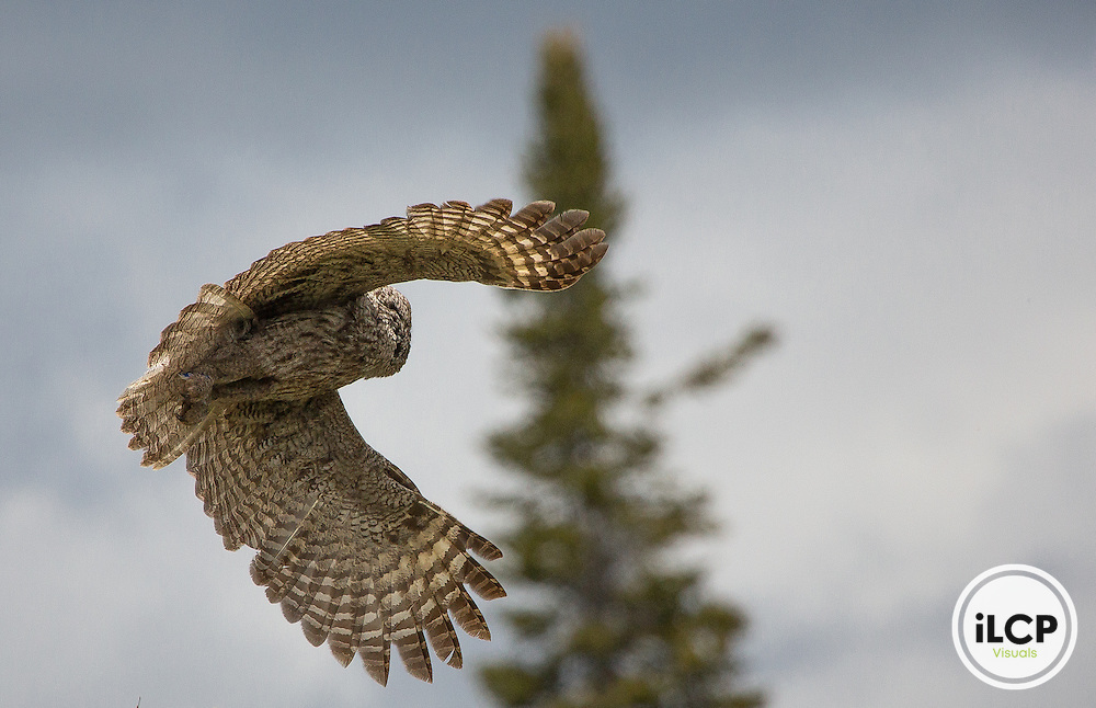 Great gray owl (Strix nebulosa) in Grand Teton National Park.