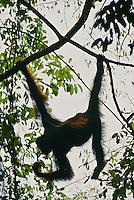 A female Bornean Orangutan (Pongo pygmaeus) hangs from crossing lianas.