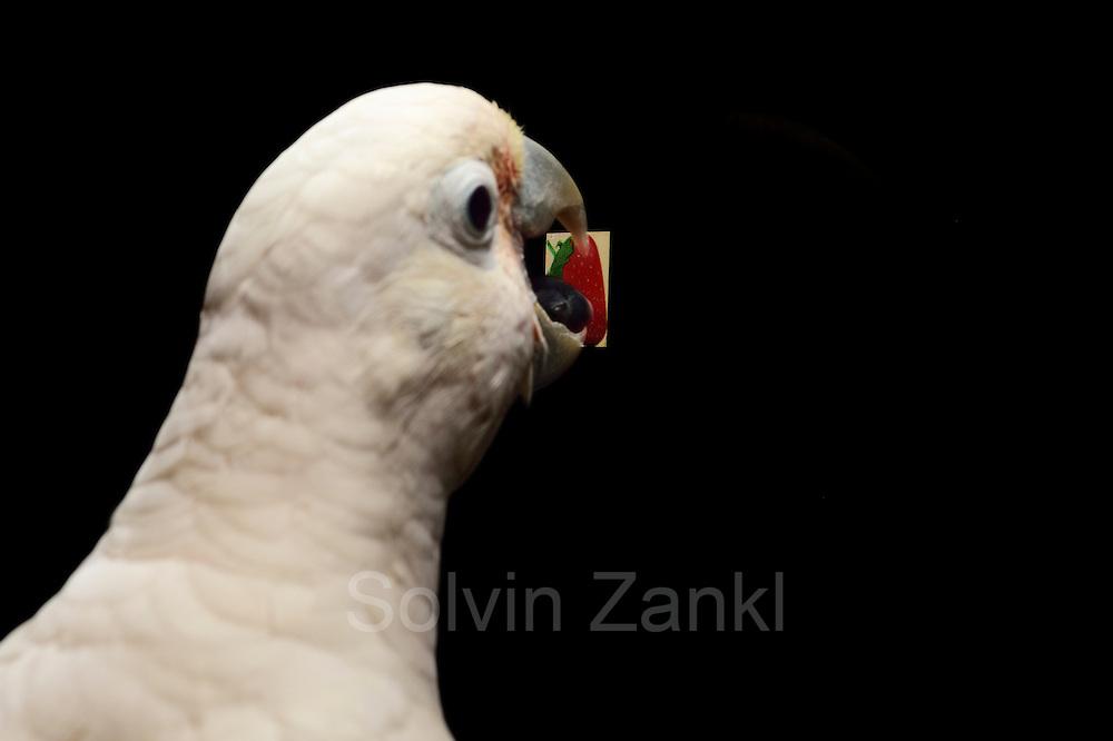[captive] Goffin's cockatoos or Tanimbar Corellas (Cacatua goffini) | Goffinkakadu (Cacatua goffiniana) ist eine Papageienart und kommt in freier Wildbahn ausschließlich auf der indonesischen Inselgruppe Tanimbar vor. Diese Aufnahmen wurden in Gefangenschaft aufgenommen.