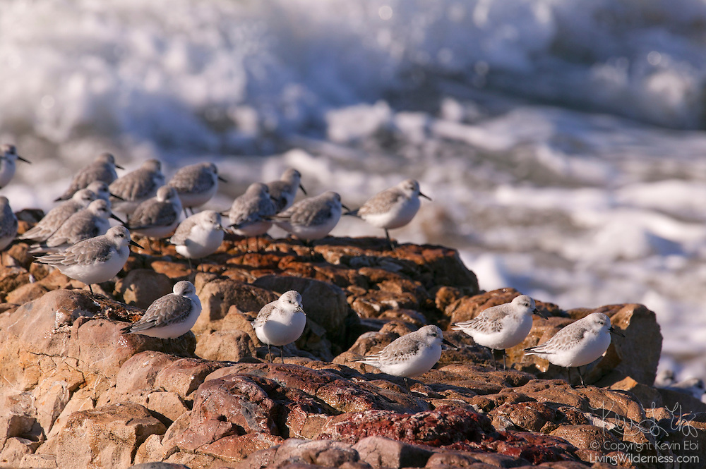 A flock of sanderlings (Caldris alba) rests on the rocks out of the reach of Pacific Ocean waves along Pescadero Beach in California. Sanderlings spend the summer in northern Canada and Greenland and winter on the Pacific and Atlantic coasts of North America. The feed on mollusks and crustaceans, running along sandy beaches just ahead of the surf.