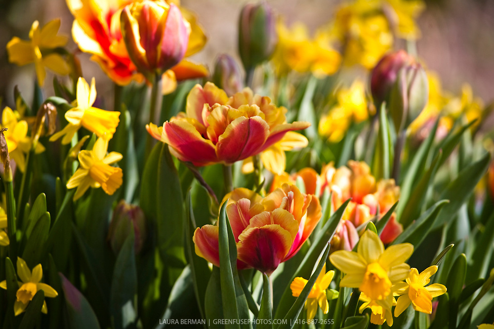 Spring tulips. Available as hi res upon request.
