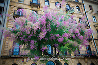 New shoots emerging from the Tamarind Trees located throughout the city of San Sebastian.