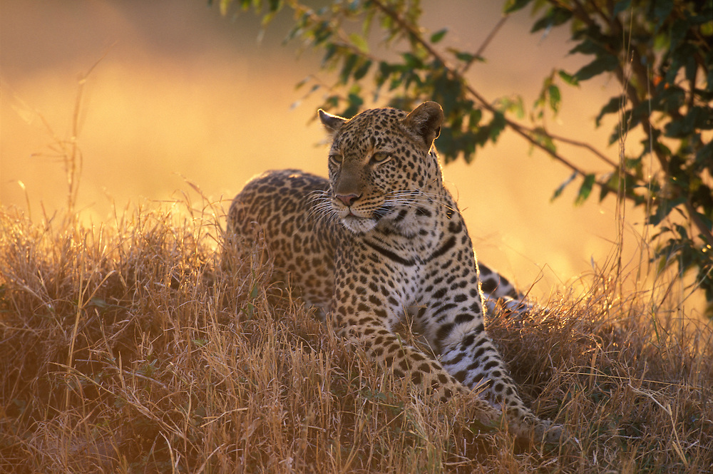 Africa, Kenya, Masai Mara Game Reserve, Adult Female Leopard (Panthera pardus) rests on low grass mound at sunset