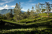 Pusselawa Tea estate. Hill country. Sri Lanka
