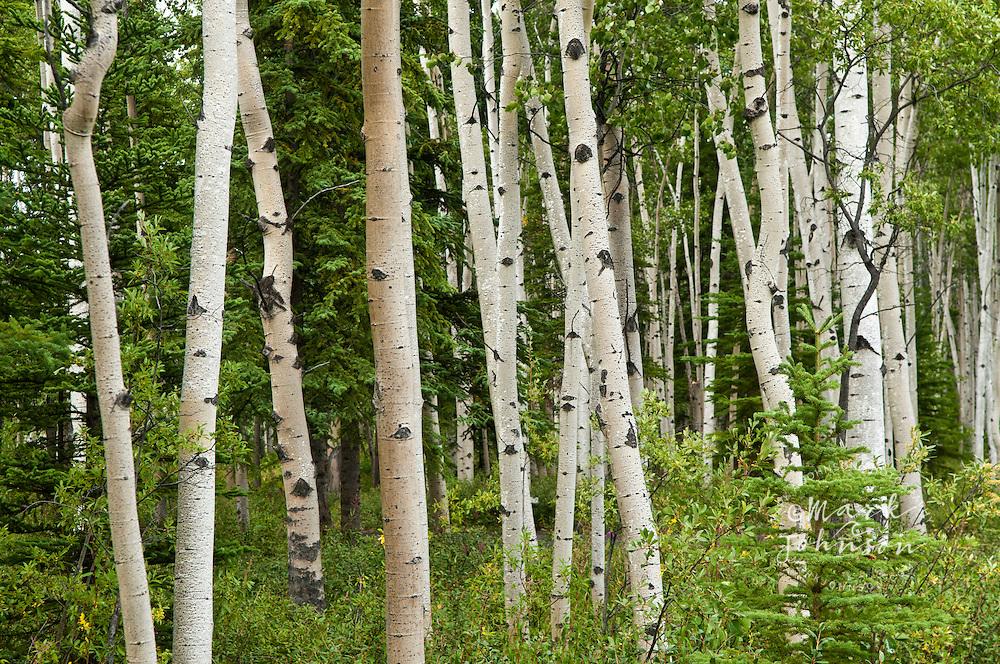 Quaking Aspen trees, Alaska