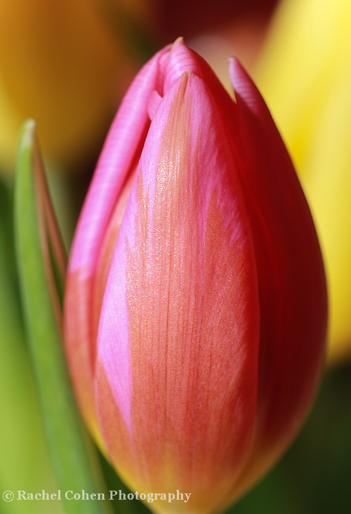 &quot;Other Side of Sunshine&quot;<br /> <br /> Gorgeous sunlight on a single colorful tulip!