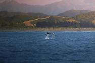 A couple of dusky dolphins (Lagenorhynchus obscurus) leap out of the water off the coast of Kaikoura, a coastal town in New Zealand's Canterbury region. Dusky dolphins are about 1.9m long (6.5ft) and sport a dark diagonal band across their sides and a bluish tail. They also lack a beak at the end of their snouts. Apart from New Zealand, dusky dolphins can also be seen frolicking and swimming at great speeds in the coastal waters of Southern Australia, Tasmania, and southwestern South Africa. Though it's difficult to estimate how large the population of dusky dolphins is, the evidence points to massive casualties caused by commercial fishing with nets or illegal harpoon fishing.