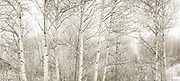 Aspens in Freezing Fog.<br /> Also available as a triptych, up to 60 x 120&quot;.