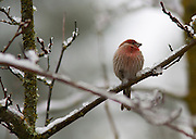 A male House Finch in winter