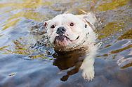 Bulldog mix swimming in a stream