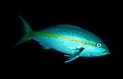 UNDERWATER MARINE LIFE CARIBBEAN, FISH; Yellowtail Snapper; Ocyurus chrysurus