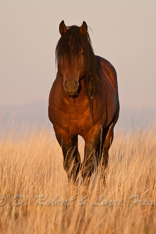 Wild horse or mustang in Wyoming in late afternoon