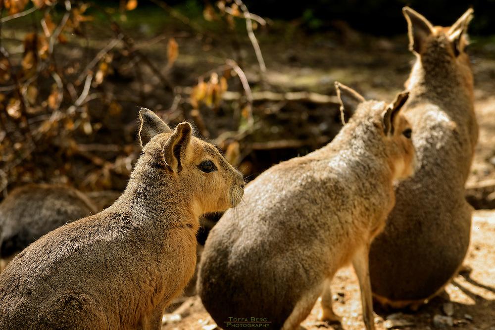 Capybara shot at Amadeus Zoo in Stange, Hedemark, Norway.