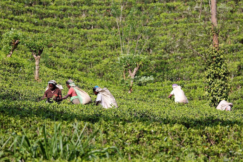 Tea pickers on a plantation near the foot of the Knuckles Range, not far from Kandy, Sri Lanka's second-largest city. The women pluck the top few leaves and store them in large sacks before the men take them back down to the factories.