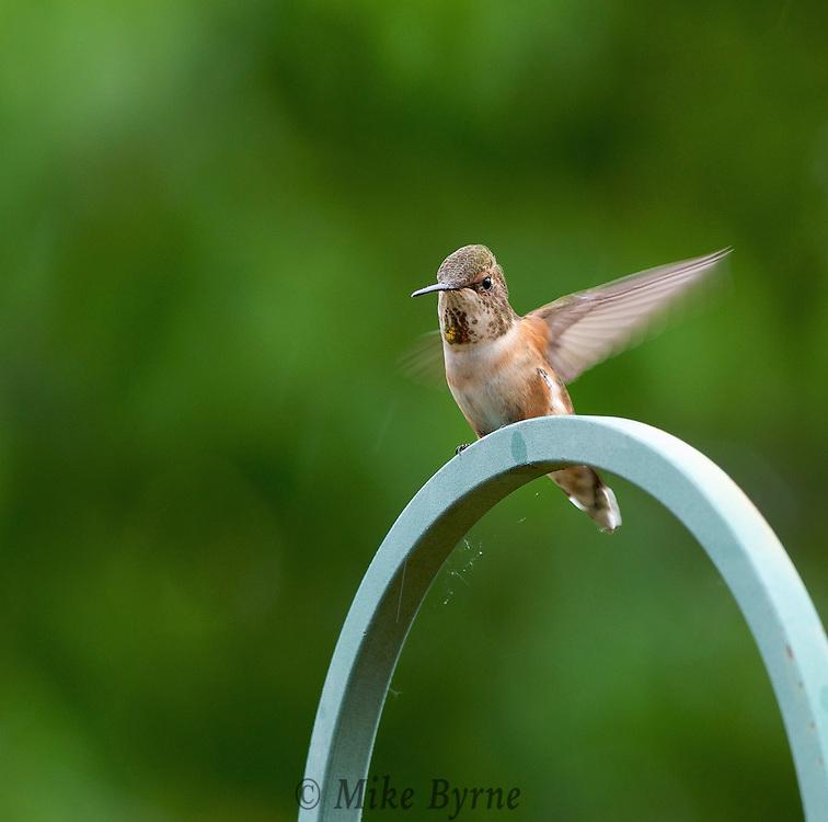 Rufous Hummingbird: Female.  (Selasphorus rufus) Piercy Rd. Courtenay, B.C. Canada.  (Photographer: Isobel Springett)