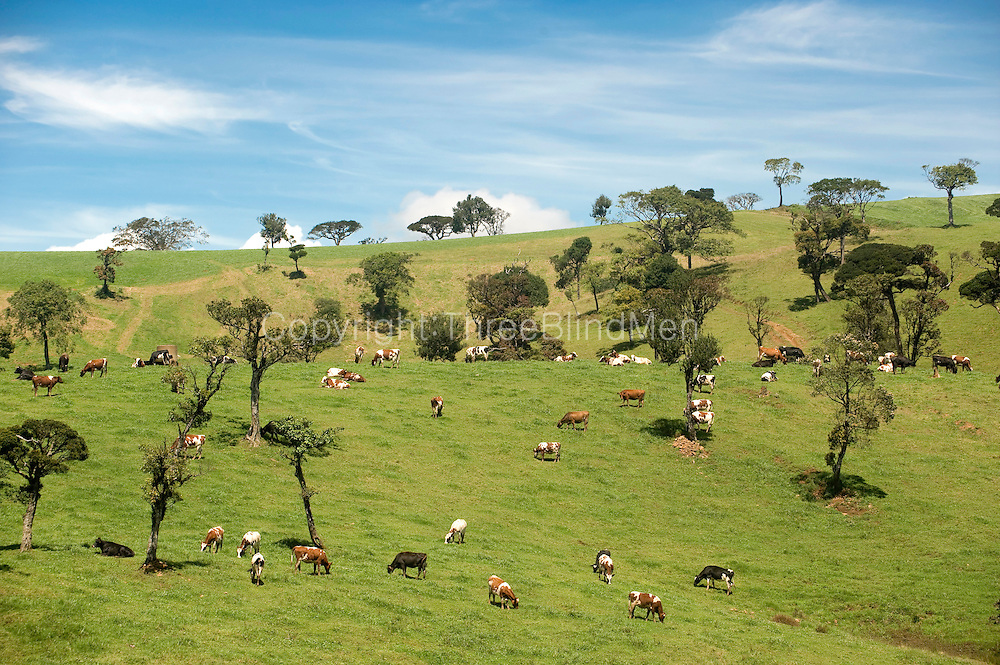 Ambewela is the area just below the Horton Plains. Many dairy cattle farms are situated here at this higher altitude.