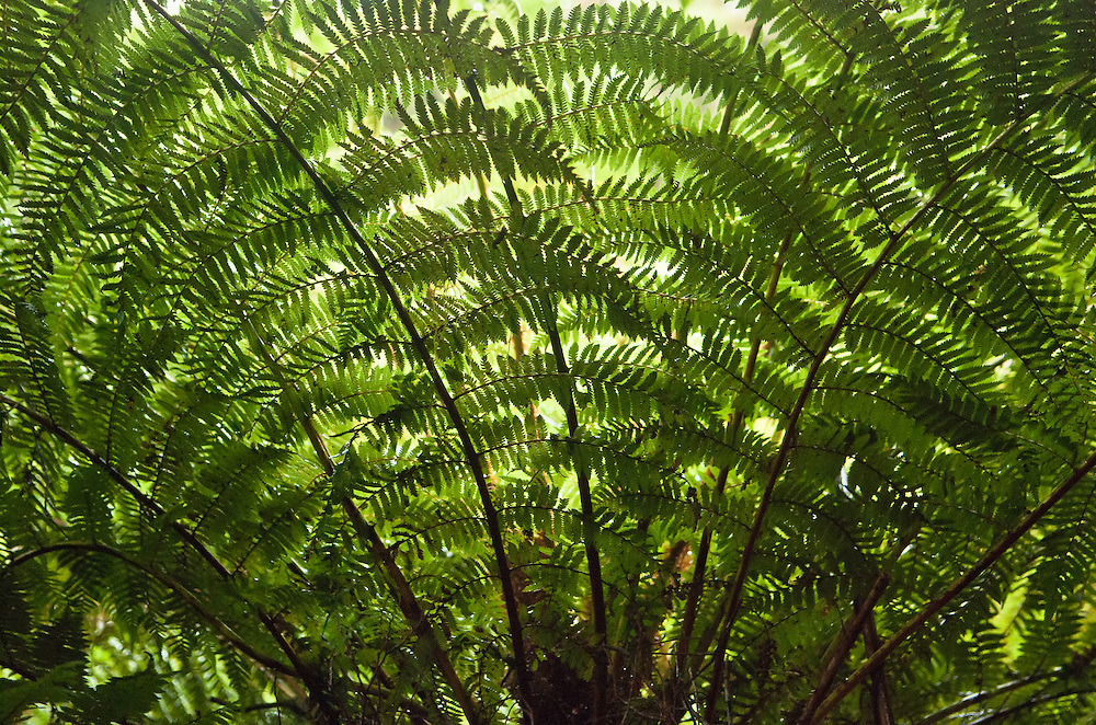 Backlit branches of the tree fern 'Dicksonia squarrosa' form a symmetrical fan as they emerge from the trunk; Milford Track, New Zealand