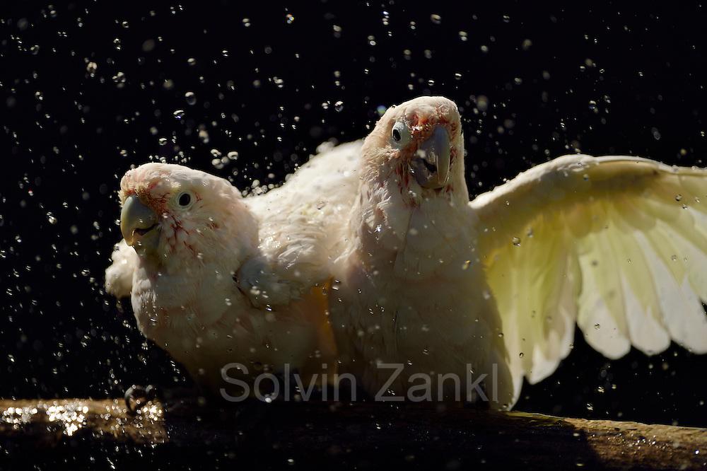 [captive] Goffin's cockatoos (Cacatua goffiniana) are getting sprayed with a garden hose. Goffin's cockatoos or Tanimbar Corellas are endemic to the Tanimbar archipelago in Indonesia. Research on their cognitive abilities is done in the Goffin Lab (Lower Austria) by Dr. Alice M. I. Auersperg. | Goffinkakadus (Cacatua goffiniana) werden mit einem Gartenschlauch besprüht. Der Goffinkakadu ist eine Papageienart und kommt in freier Wildbahn ausschließlich auf der indonesischen Inselgruppe Tanimbar vor. Forschung zu kognitiven Fähigkeiten des Goffinkakadus wird im Goffin Lab (Niederösterreich) von Dr. Alice M. I. Auersperg durchgeführt.