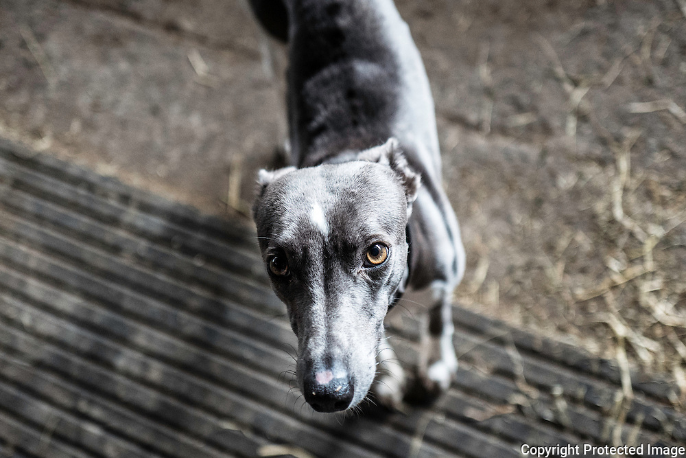 A whippet looks up longlingly.