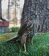 A Cooper's hawk recovers his wits after crashing into  a window.