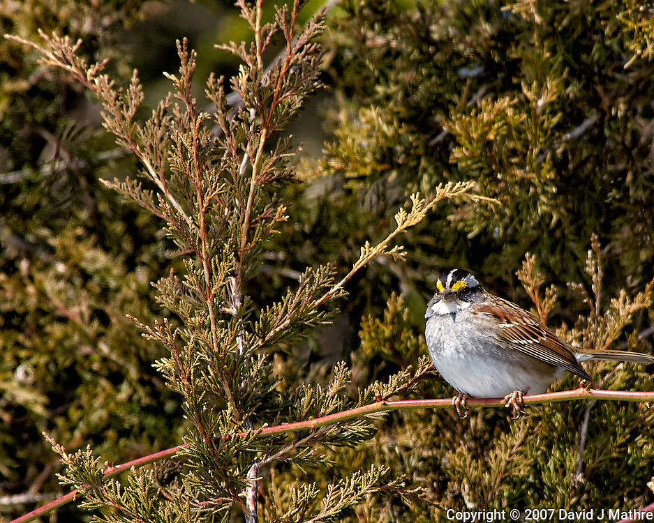 White-throated sparrow on a vine. Backyard winter nature in New Jersey. Image taken with a Nikon D2xs camera and 80-400 mm VR lens (ISO 100, 400 mm, f/7.6, 1/250 sec).