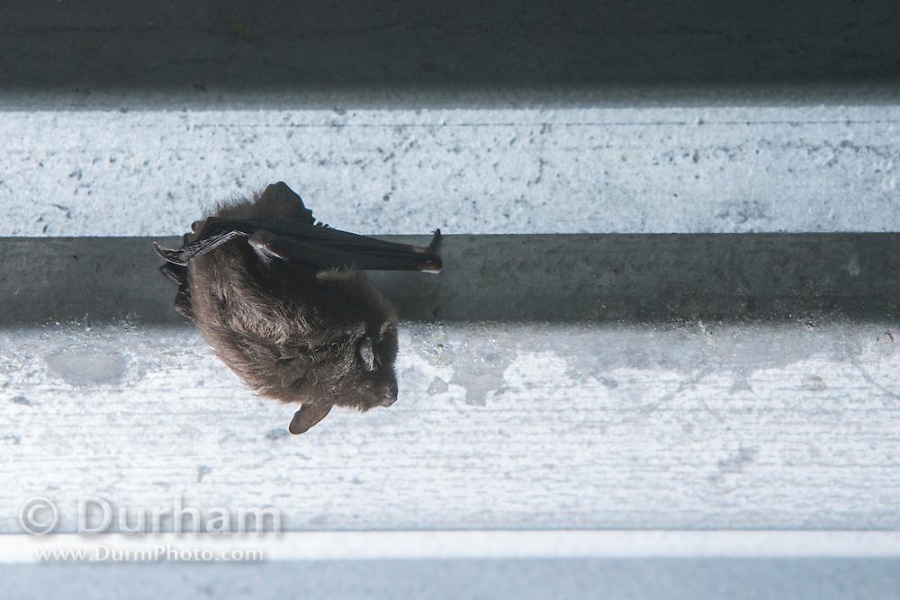 Indiana bat (Myotis sodalis) day roosting under a bridge in Indiana.