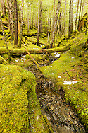 Greens in the temperate rainforest of Chugach National Forest emerge from the long winter's snows on Heney Ridge Trail in Prince William Sound near Cordova in Southcentral Alaska. Afternoon. Spring.