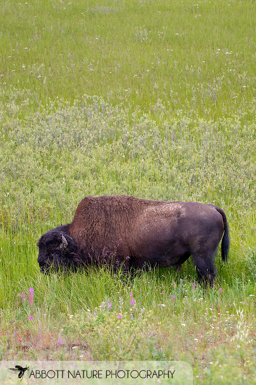 Wood Bison, Mountain Bison, Wood Buffalo or Mountain Buffalo (Bison bison athabascae)<br /> CANADA: British Columbia (Stikine Region)<br /> along Alaska Highway<br /> 18-July-2012<br /> J.C. Abbott &amp; K.K. Abbott