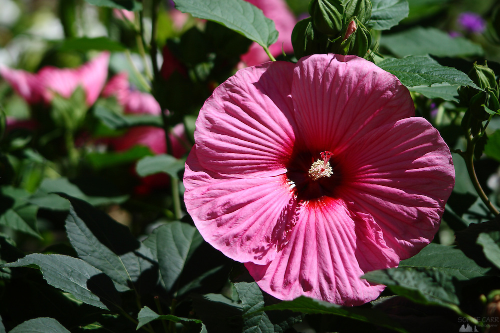 A pink hibiscus flower in a park in Lyon, France