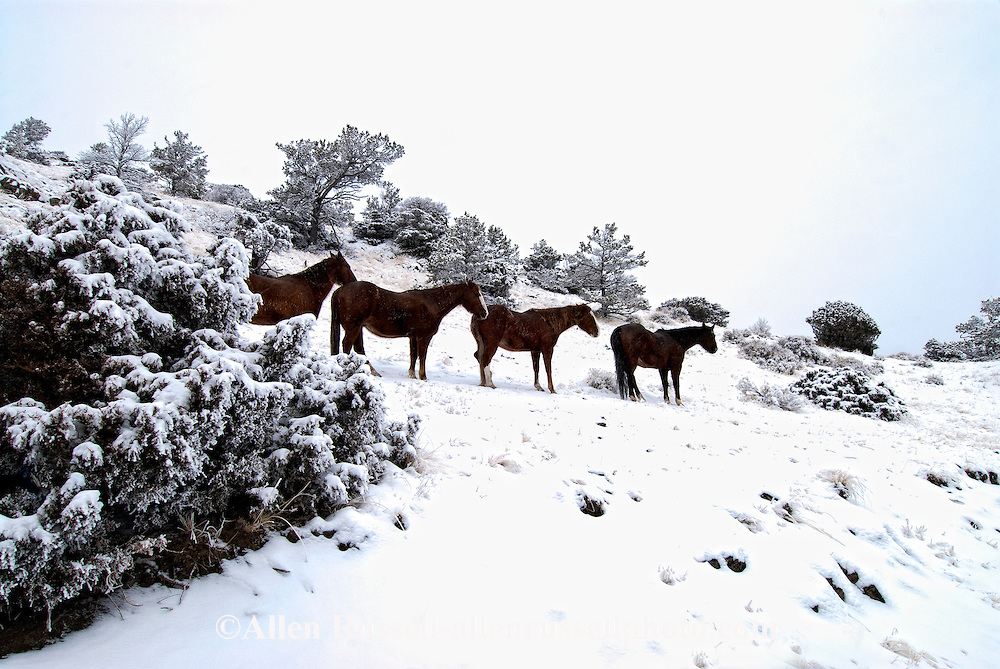 Quarter horses, foothills of Absaroka Mountains, west of Livingston, Montana, Property Released