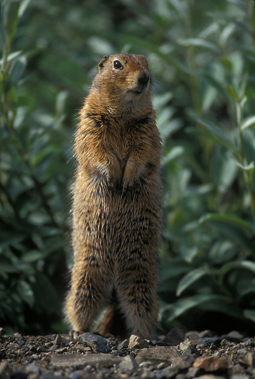 USA, Alaska, Denali National Park, Arctic Ground Squirrel (Spermophilus parryii) standing at edge of alpine meadow