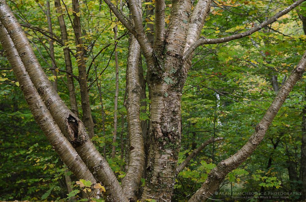 Tree Vermont
