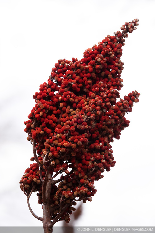 Sumac (Rhus) near the Collier Homestead located in the Buffalo National River in Arkansas.