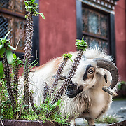 An argali or Himalayan Mountain Sheep in a Tibetan Buddhist Temple