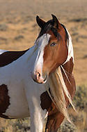 The beautiful filly, Topeka, was born to the mare, Tuff, and the stallion, Derby, in 2012. While in her third year, Topeka left her family band to join the stallion, Tyke.  Along with the mare, Shadows, the pair now make up Tyke's family band.