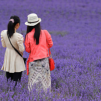 Two asian tourists in Lavender Field,Vaucluse,Provence,France,Europe<br /> MR 0352,0353