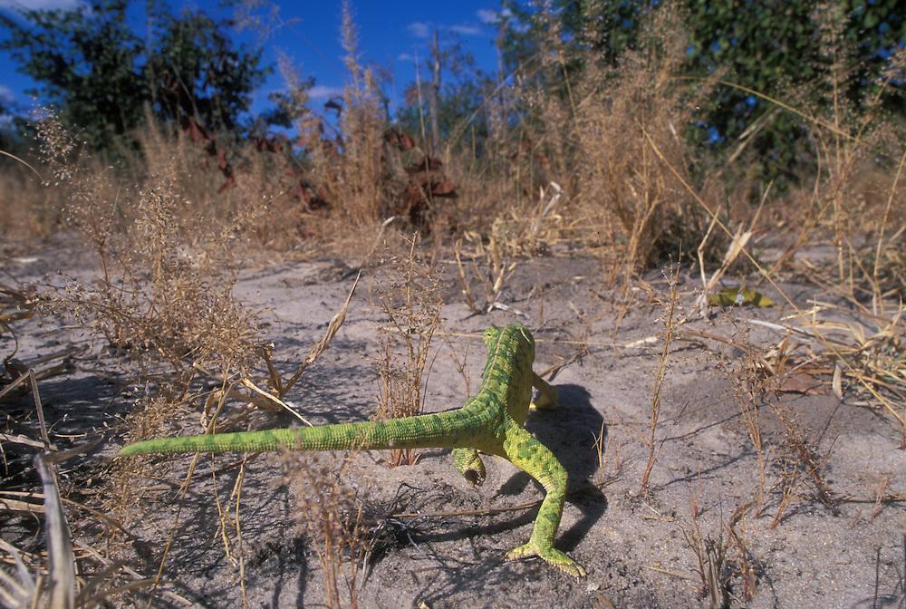 Africa, Botswana, Chobe National Park, Flap-necked Chameleon (Chamaeleo dilepis) walking in tall grass