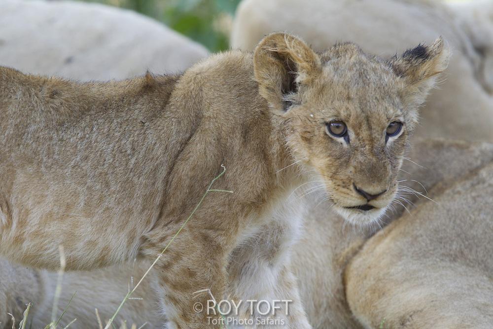 Close up of juvenile lion, Botswana