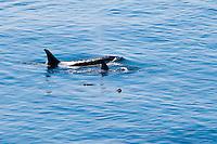 Mother and juvenile Killer Whales off Lime Kiln Point on San Juan Island, Washington, USA.
