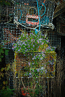 Abandoned lobster traps and asters, Bernard, ME USA