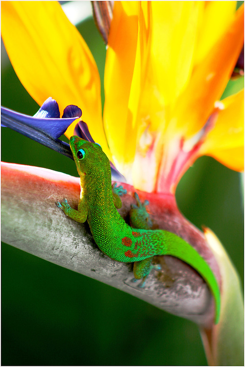 wildlife photography,Madagascar day gecko.