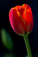 Sunshine on a Tulip flower at Queen Elizabeth Park in Vancouver, British Columbia, Canada