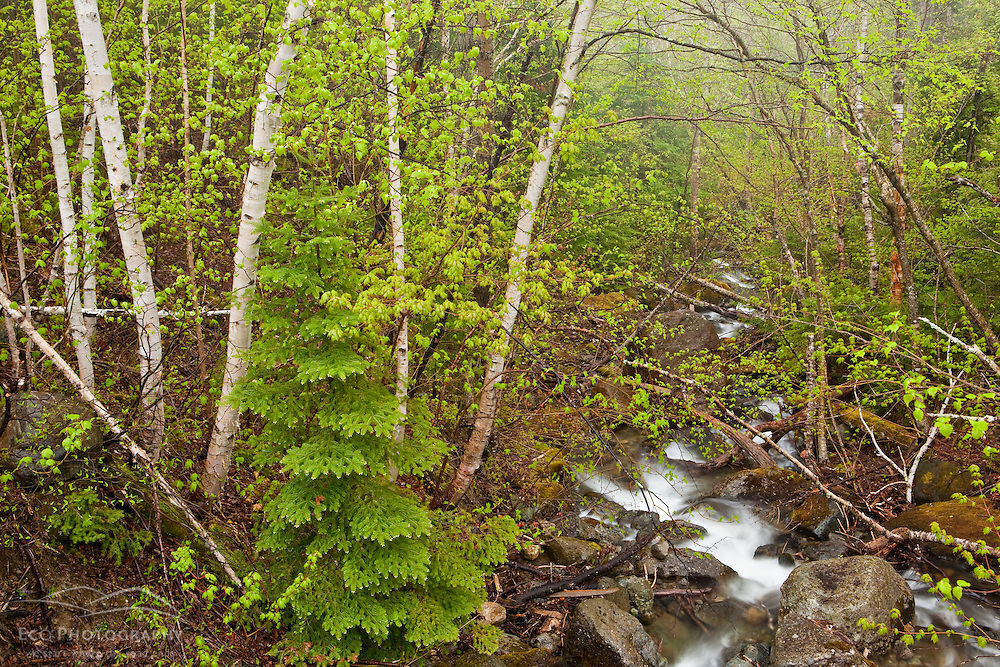 Paper birches and stream in spring.  Stratton, Maine. Tributary to the South Branch of the Carrabassett River.