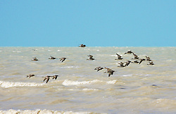 Shore birds head to shore at Crab Creek on the shores of Roebuck Bay.