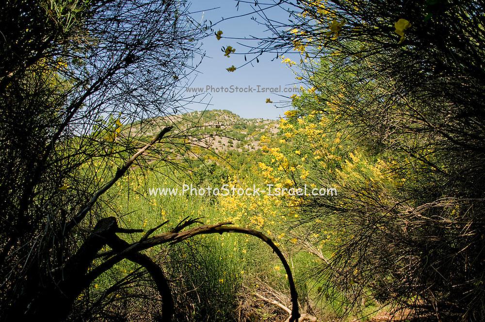 Israel, Hermon Mountain Flowering Spanish broom flowers (Spartium junceum) The flowering parts of this plant are used in herbal medicine